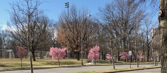 Blossoming Trees in February