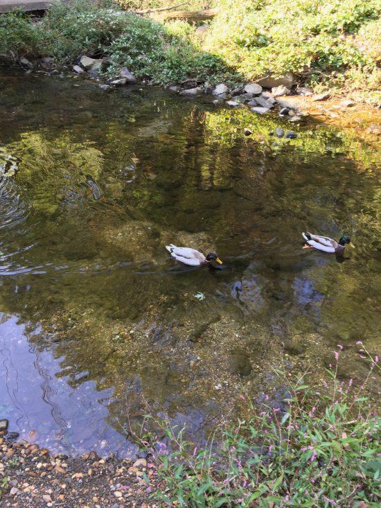 """A few of """"my"""" ducks."""