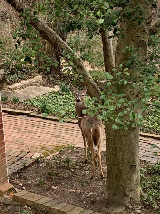 A deer in the yard.