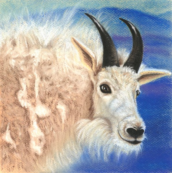 Colorado Mountain Goat Pastel Drawing Jamie Wilke