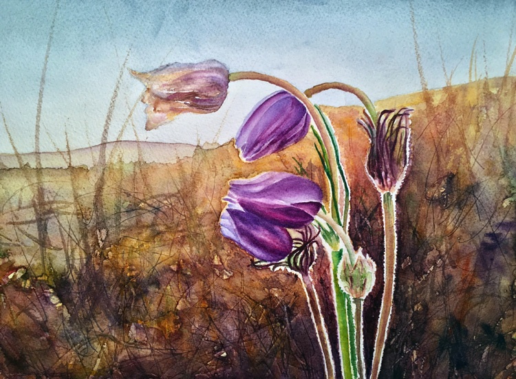 Pasque Spring Wildflowers 1 - Watercolor by Colorado Artist Jamie Wilke