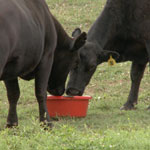 Do you know the benefits of cattle tubs and block supplements? Cattle Tub and block supplements are a good way to supplement when forage is poor.