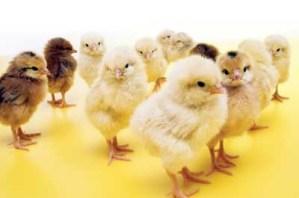special order spring chicks-https://www.jandnfeedandseed.com