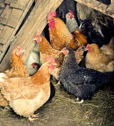 3 - 7 Month Chickens