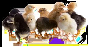 2-3 Week Old Chicks