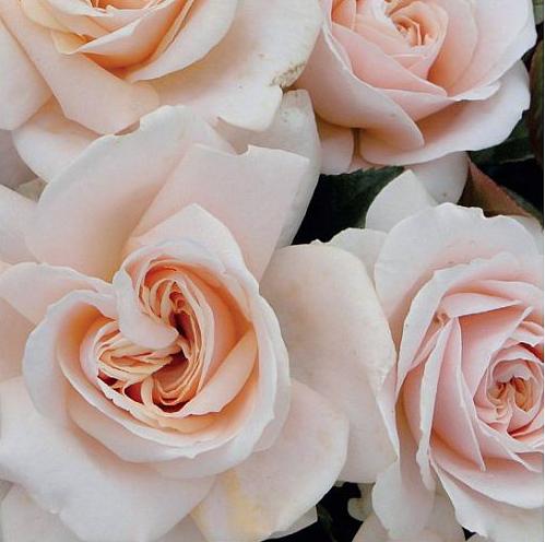 Rosa Orgulho e Preconceito - Pride and Prejudice