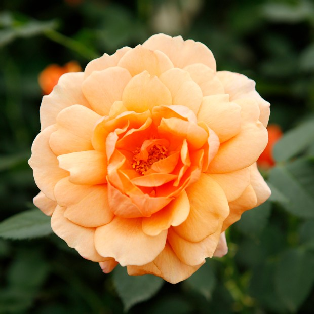 Rosa Jane Austen
