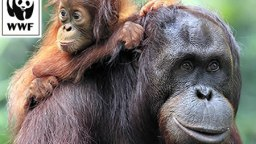 orangutan-mother-and-baby