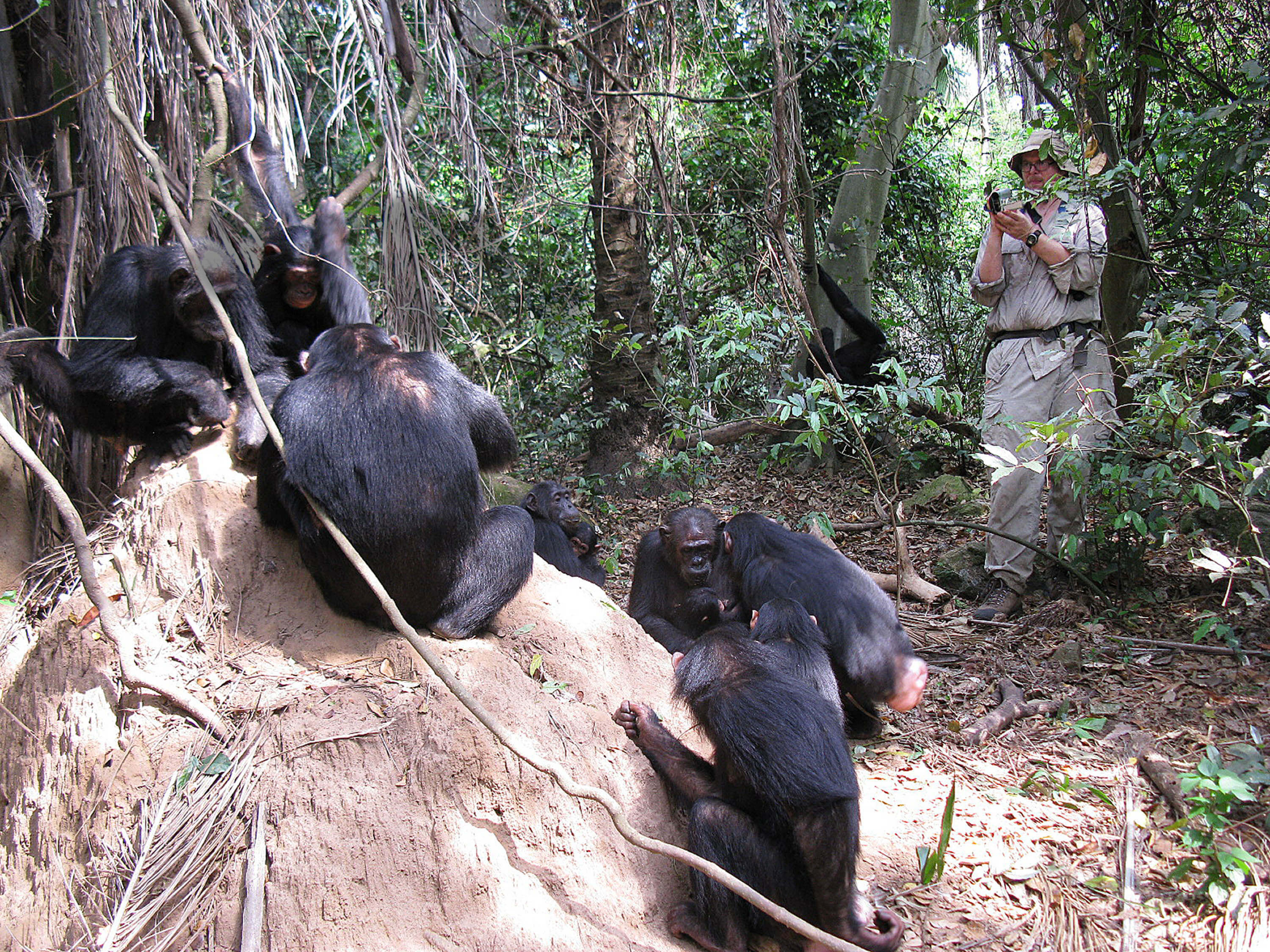 Researcher videotapes chimpanzees fishing for termites in Gombe National Park