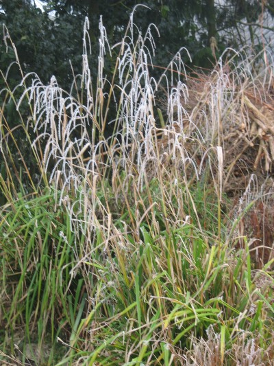 Frosted carex pendula