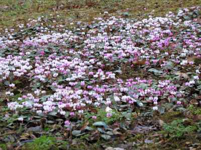 Cyclamen coum in Evenley Wood Gardens, February 2011