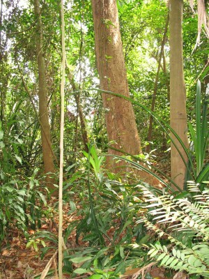 Rainforest in Singapore Botanic Gardens