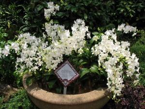 Orchid 'Princess Diana'