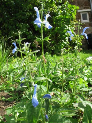 Salvia Cambridge Blue
