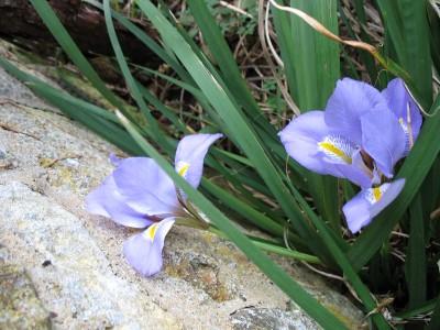 Two iris unguicularis flowers