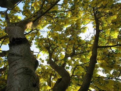 Looking up laburnum tree