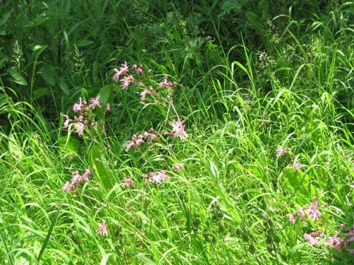 Close up of ragged robin flowers