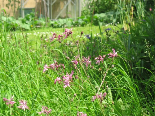 Ragged robin's pink flowers in my meadow patch