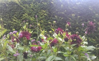 Dahlias against yew block