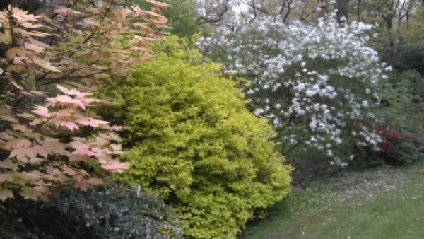 Pale green Jap maple