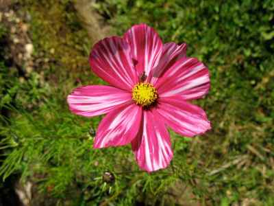 Cosmos Candy Stripe pink