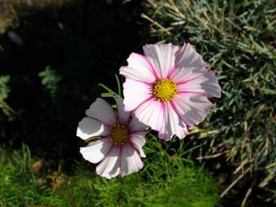 Cosmos candy stripe pale