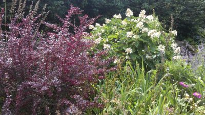 Hydrangea and pink berberis