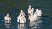 White Pelican on the Wild Rice River, Tewaukon National Wildlife Refuge, North Dakota<br />