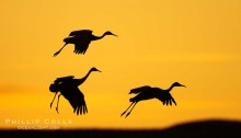 Sandhill cranes in flight, silhouetted against a richly colored evening sky.