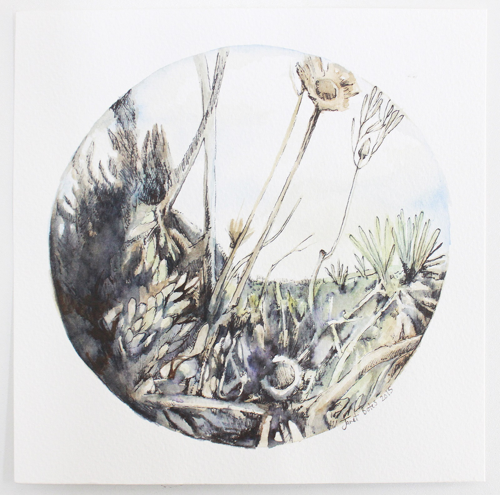 Watercolour and ink drawing by Janet Botes of fynbos plants