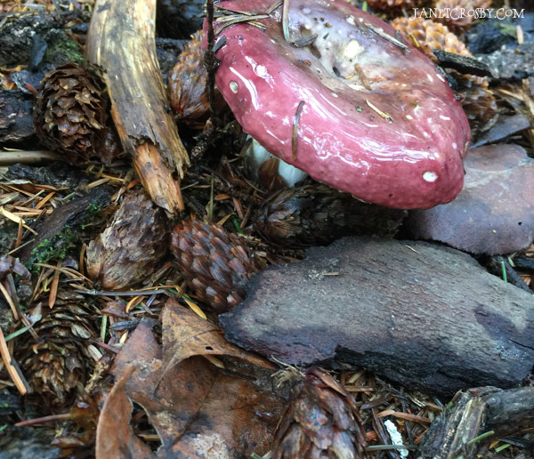 Slimy Mushroom in the Forest - janetcrosby.com