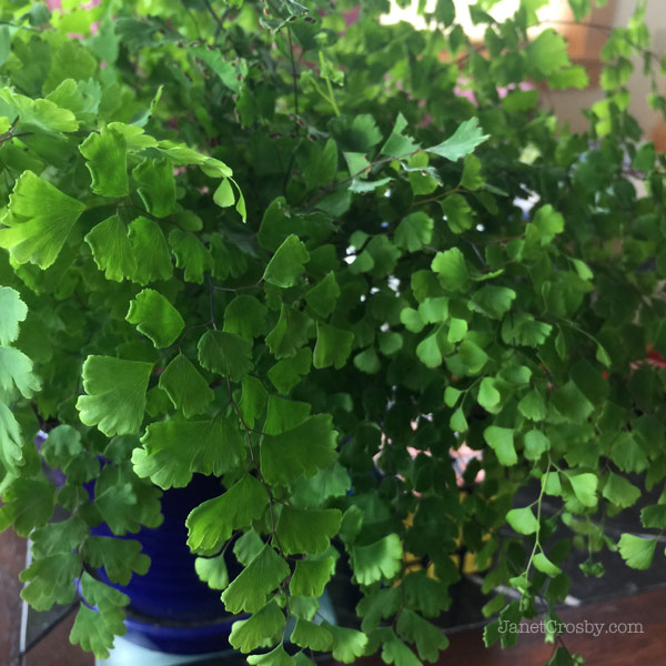 Baby Maidenhair Fern