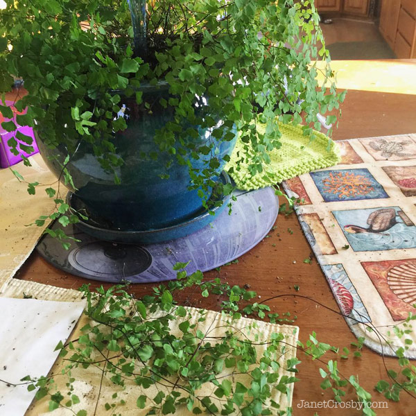 Maidenhair fern attack