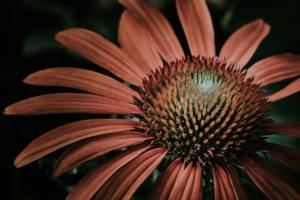 a close up of a tan Echinacea