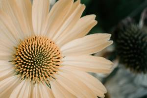 a close up of a white Echinacea