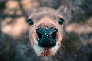 close up picture of a deer's nose