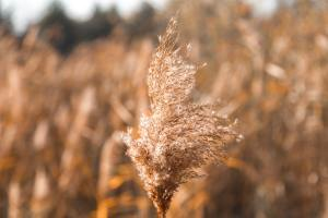 A field of dry grass and pollen.