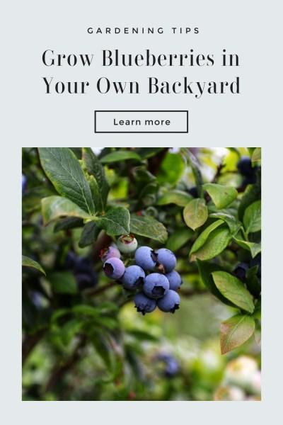 Grow Blueberries Backyard Tips