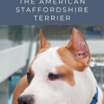 8 Myths You Shouldn't Believe About the American Staffordshire Terrier