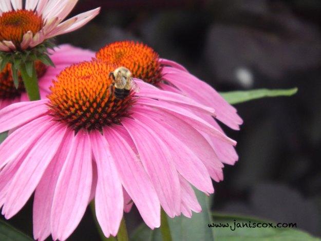 Lenten Thoughts - believe - Bumblebee