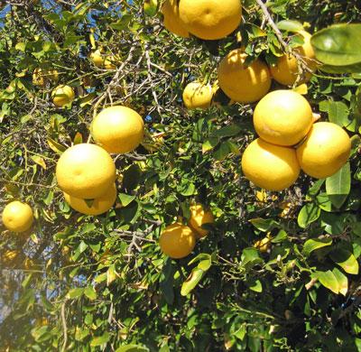 Grapefruit on the tree