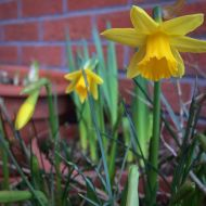 Mini daffodils on the front doorstep