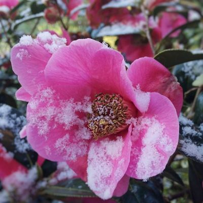 Spring snow on the camellia this morning
