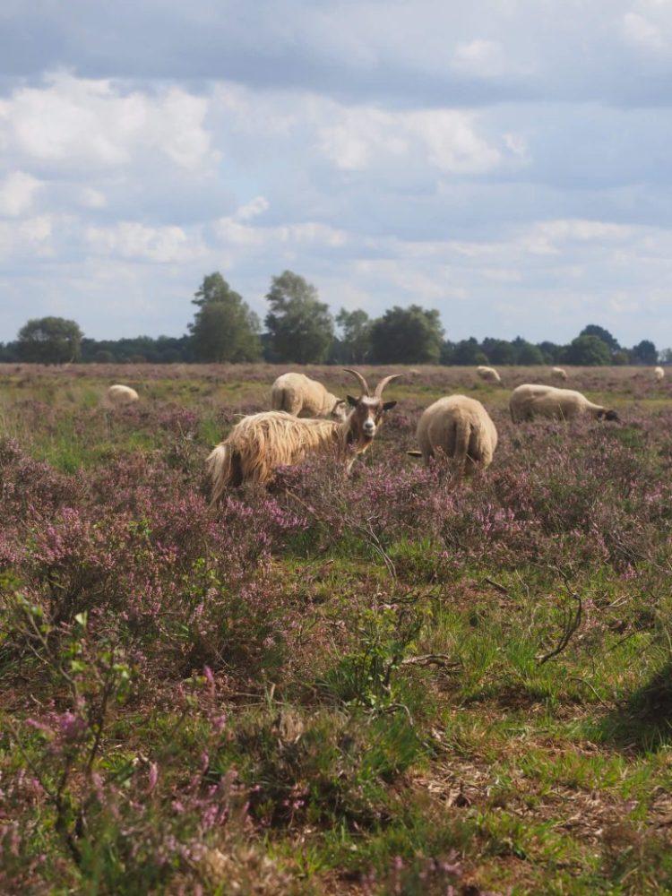 Nederlandse Landgeit op de heide Bargerveen in Drenthe