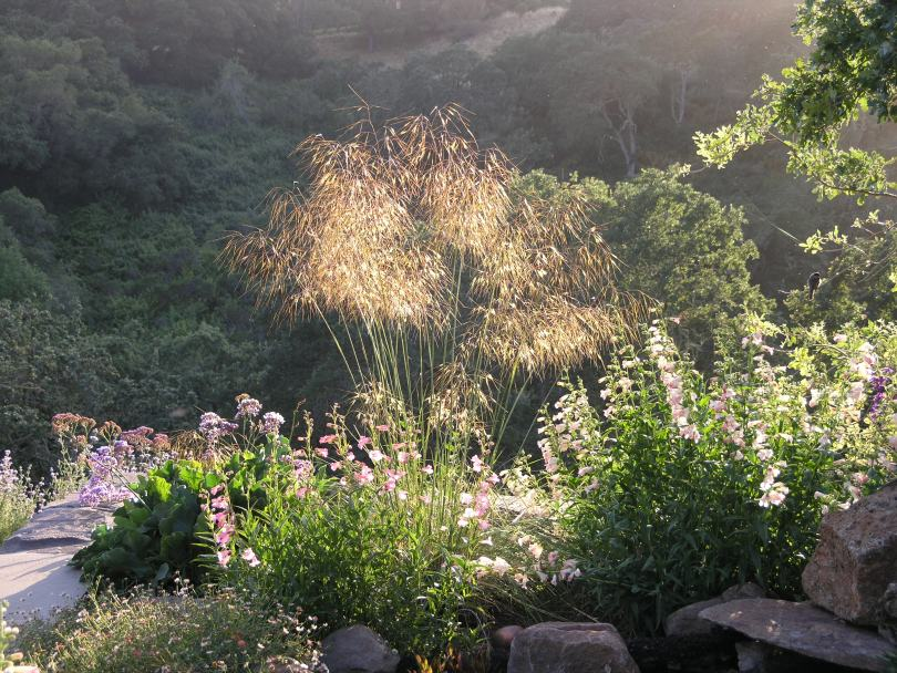 Stipa Gigantea Gardening Tips For The Santa Cruz Mountains