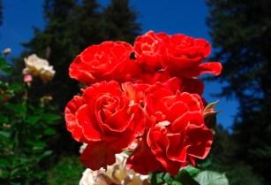 rose_Stretch_Johnson 3