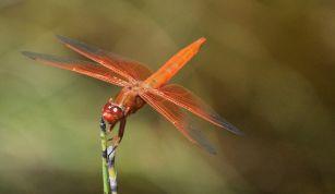 Flame_Skimmer_dragonfly