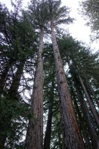 limbed redwoods.1600