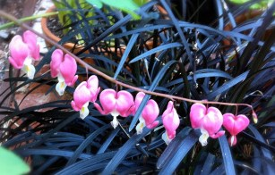 bleeding_hearts