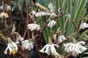 edgeworthia_chrysantha